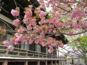 ヤエザクラ 鎌倉市本覚寺