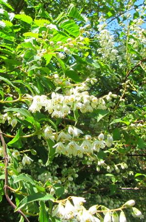 卯の花(ウツギ) 神奈川県鎌倉市