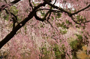 京都御苑近衛邸跡の糸桜