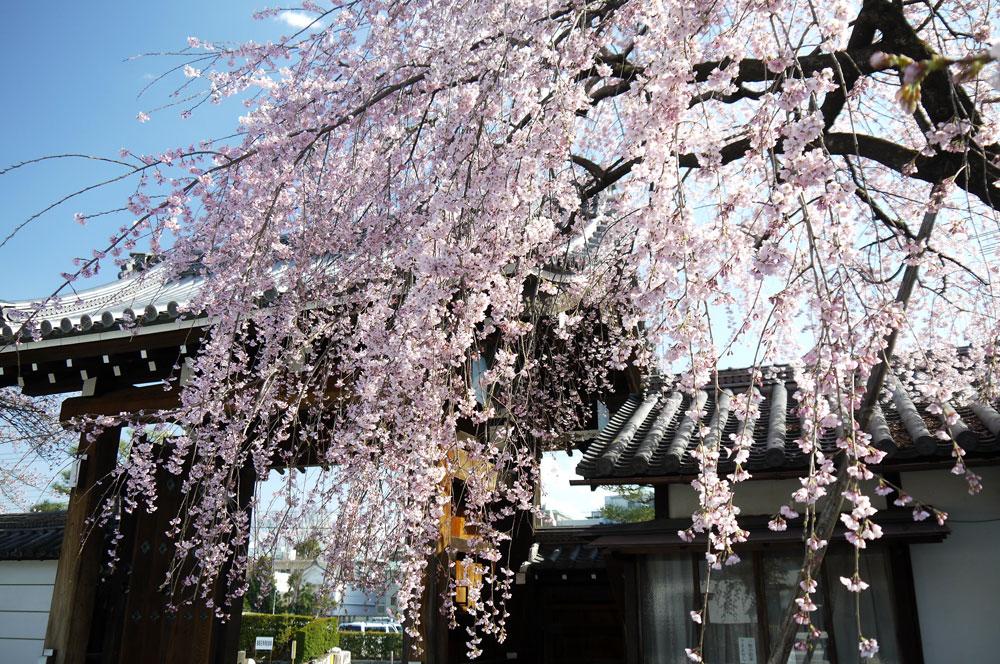 聖護院の枝垂れ桜(京都の桜フリー写真)