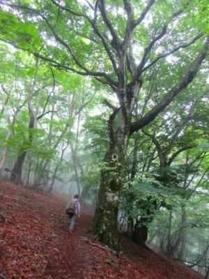山毛欅(ブナ)の大木