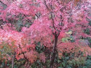 冬紅葉(鎌倉市二階堂)